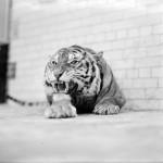 Obudź Tygrysa