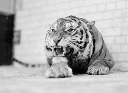 tiger1 – Copy