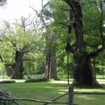 Święto Drzew. Dawny kult i szacunek do przyrody