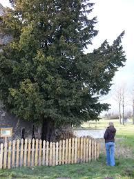 najstarsze drzewo w polsce cis z henrykowa lubanskiego